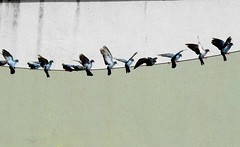 The Dividing Line - life's a balancing act (jmanj) Tags: city india birds pigeons cities urbannature baroda vadodara citybirds urbanindia