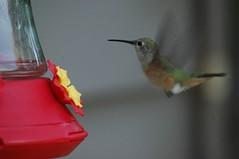 HUMMINGBIRD (Tod Hardin) Tags: coyote animals colorado wildlife moose hummingbirds elk marmots coloradowildlife