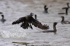 Little Black Cormorant (0ystercatcher) Tags: bird australia canberra act lakeburleygriffin phalacrocoraxsulcirostris littleblackcormorant geo:country=australia taxonomy:binomial=phalacrocoraxsulcirostris taxonomy:common=littleblackcormorant