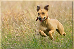 spreading seeds (!Tara) Tags: dog pet fun happy flying tara shepherd whippet seeds gras ridgeback staffordshire crossbreed staffordshireterrier tonden mywinners hvhe1