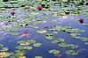 Water Lily and Carp[pentax k-7] (h orihashi) Tags: japan catchycolors pond searchthebest pentax vivid hiroshima harmony 日本 carp soe breathtaking globalvillage nationalgeographic aphoto aclass 広島 peopleschoice k7 naturesfinest coth supershot flickrsbest bej golddragon flickrsmileys mywinners abigfave royalgroup diamondheart platinumphoto impressedbeauty aplusphoto flickrhearts ultimateshot flickraward crystalaward diamondclassphotographer flickrdiamond excellentphotographerawards pentaxlife heartawards theunforgettablepictures diamondstars eperkeaward colourartaward platinumheartaward betterthangood justpentax everydayissunday goldstaraward flickrestrellas cherryontopphotography peaceawards highqualityimages hatsukaichishi rubyphotographer 469photographer damniwishidtakenthat mikesdance photographersgonewild grouptripod thebestgallery mallmixstaraward pentaxart treeandflowermania pentaxk7