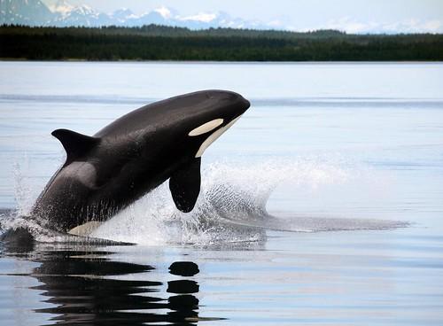 フリー画像| 動物写真| 哺乳類| シャチ| 跳ぶ/ジャンプ|       フリー素材|