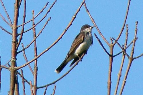kingbird callahan 3