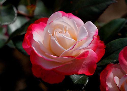 """Double delight"", Red tipped white rose"