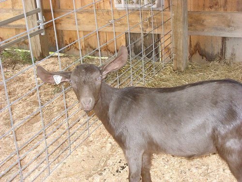 goat with great ears