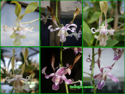 dendrobium verninha all var