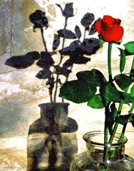 Never Mind Me - No Me Importa (Konny :-))) Tags: shadow roses flower rose ombra rosa blume fiore schatten