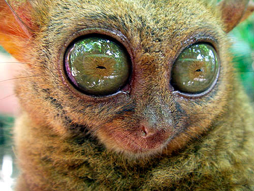 tarsier-philippines-05 by you.