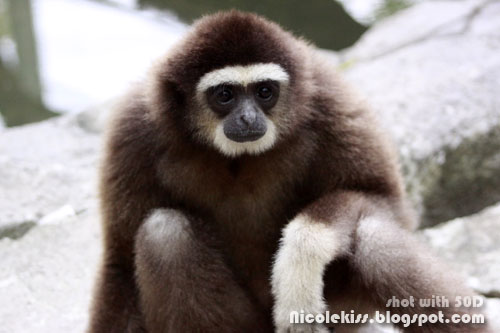 kiki the gibbon