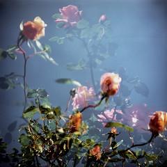 Love (Jason Lupi) Tags: blue roses sky flower 120 6x6 film mediumformat square brighton kodak doubleexposure crossprocess slidefilm analogue e6 madeinengland xprod fulvue autaut e200g pseudotlr barnetensign