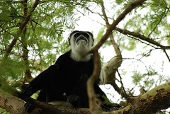 The Old Man In The Tree (Makgobokgobo) Tags: africa mammal uganda colobus primate murchison murchisonfallsnationalpark murchisonfalls blackandwhitecolobus colobusguereza mfnp colobusguerezaoccidentalis deltapoint