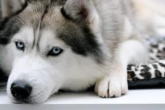 [フリー画像] [動物写真] [哺乳類] [イヌ科] [犬/イヌ] [シベリアン・ハスキー]      [フリー素材]