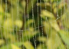 September Webs (gairid1791) Tags: dew spiderwebs webs webbing spidersilk