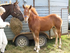 Mother and baby (podri) Tags: show horses horse baby mare chestnut hay foal suffolkpunch mareandfoal horsebox heavyhorse liverchestnut