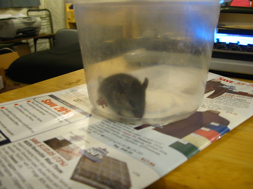 Captured mouse