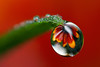 Flower dewdrop refraction #4 (Lord V) Tags: flower macro water group dewdrop refraction abc abcgroup