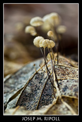Marasmius (JM Ripoll) Tags: barcelona forest mushrooms spain bosque fungus funghi pilze wald svamp marasmius mycology pilz champignons setas fong bosc foresta cogumelos fungo bolets micologia mikologia onddo perretxikoak micología mycologie olzinelles pilzkunde foraoise