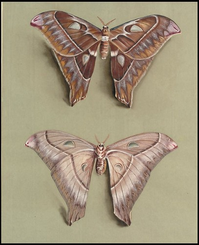 The Great Atlas moth - Marian Ellis Rowan