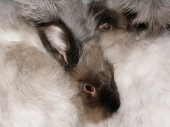 max and pippi (ixchelbunny) Tags: bunnies english rabbits angora ixchel ixchelbunny