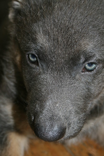 Wolf, our new blue German Shepherd puppy!!! | Flickr - Photo Sharing