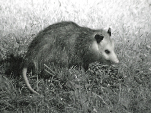 possum night 2