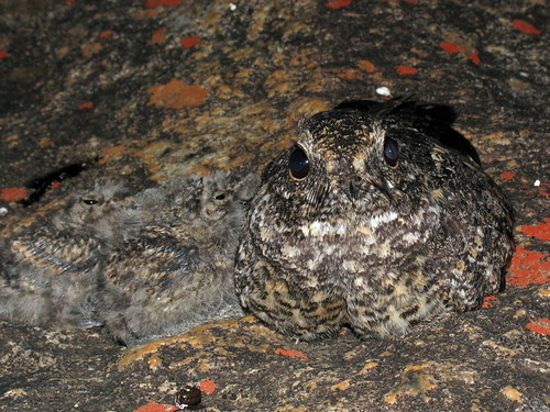 Nightjar (Caprimulgus sp.)