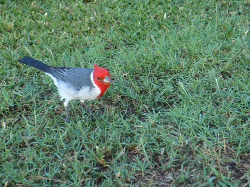Red-Crested Cardinal--2
