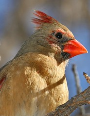 Female Cardinal (Explore #448) (John Hardison, The Old Snake Wrangler) Tags: photography spirit superior az your awards boycethompsonarboretum passions femalecardinal bta yourpassionawards