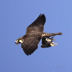 """Pirate"" Bird of Prey ""Peregrine Falcon"" ""Duck Hawk"" (S@ilor) Tags: africa bird golf hawk pirate excellent waters prey horn somalia birdofprey aden peregrinefalcon gulfofaden duckhawk naturewatching silor golfofaden piratewaters"