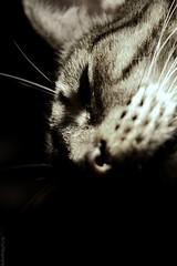 1/4 de felis silvestris (Alfilmorado) Tags: animal cat kat chat cara gato felino primer plano calma sombras contrastres lachicadelaspinturas