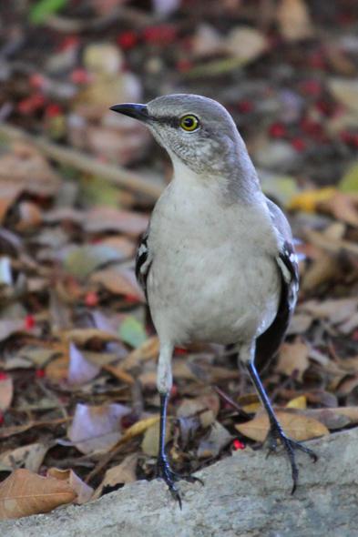 450_northernMockingbird