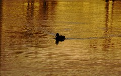 Simply a duck (Alex Esseling) Tags: sunset silhouette duck sweden karlstad klarlven dpssilhouettes