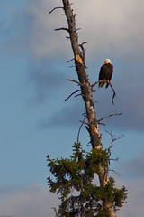 Bald Eagle (Thomas Frejek) Tags: baldeagle 2009 haliaeetusleucocephalus kanada banffnationalpark canda vermilionlakes weiskopfseeadler