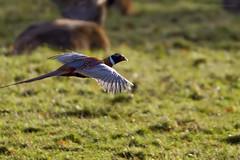 Windsor Great Park (Bobonacus) Tags: england nature animal animals wildlife deer phesant british 500mm reddeer windsorgreatpark 14x wilddeer 700mm 500mmf4 14xconvertor