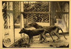 Thylacine (extinct species ) (Val in Sydney) Tags: tiger tasmania tassie tigre extinct thylacine tasmanie
