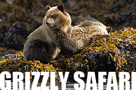 Grizzly Safari