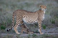 Safe Haven (Explore 2/12/2017) (tkfranzen) Tags: cheetah cheetahcub cheetahmortality ndutu tanzania africa africansafari roysafaris iucnvulnerable animalbehavior animalplanet wildlifephotography canonwildlifephotography naturephotography tnclivenature