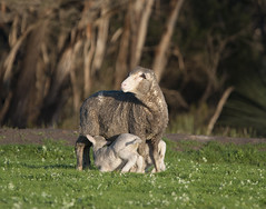 Work_Wool industry_AWN_Willson_DSC_0093_2_D (renrut01) Tags: awn australian wool network kangaroo island sheep penneshaw ewe lambs suckling mob coast scenic