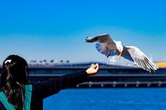 Black-headed Gull in Yokohama Yamashita Park : 山下公園のユリカモメ (Dakiny) Tags: 2017 winter february japan kanagawa yokohama nakaward city street outdoor ymashita-cho park ymashitapark sea port yokohamaport people portrait woman female girl creature animal bird waterfowl gull seagull blackheadedgull fly bokeh sky blue nikon d7000 tamron 70300mm sp70300mmf456divcusd a005 modela005 nikonclubit