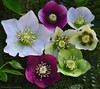 Hellebore's (favmark1) Tags: hellebores hellebore flowers 2017 365 365challenge day59