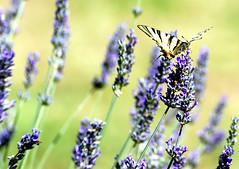 Look at me, please?!?! (Ioss) Tags: macro butterfly free natura volo fiori farfalla libero lavanda naturalmente tokina80200
