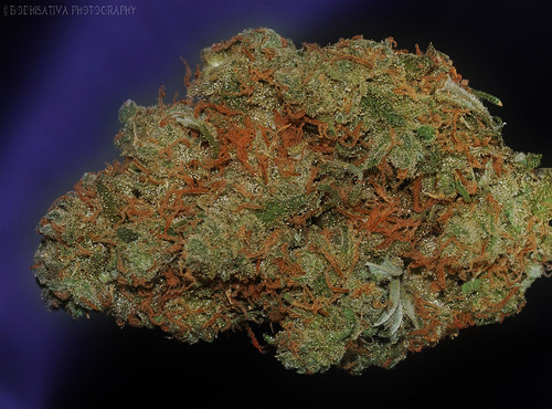 Jack Herer - © BodhiSativa Photography -  medical marijuana