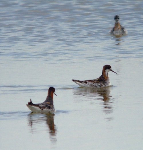 Not ND. Kazahkstan Red Phalaropes