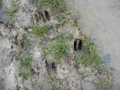 small-deer-tracks-pre-elsted