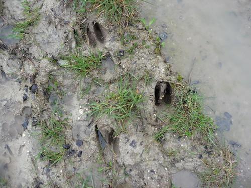 small-deer-tracks-pre-elsted