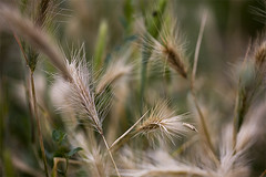 Palaia - Wild Grasses (cedsarlette) Tags: italy flower macro nature fleur grass tuscany 5d toscane italie herbe palaia canoneos5d sigma150mm wildgrasses herbesfolles
