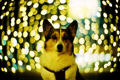 starlets (moaan) Tags: leica light dog vortex 50mm gold golden corgi dof bokeh illuminations f10 utata swirl mp noctilux welshcorgi 2009 starry starlet kodake100g leicamp explored pochiko goldenbokeh leicanoctilux50mmf10 gettyimagesjapanq1 gettyimagesjapanq2