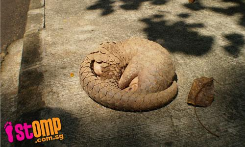 Pangolin spotted on Hillcrest Road
