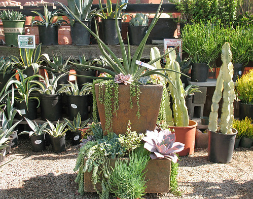 water wise succulents in containers