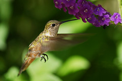 Broad-tailed Hummingbird (Selasphorus platycercus) (Dave 2x) Tags: bird hummingbird florida sony butterflyworld broadtailedhummingbird selasphorusplatycercus 70400mm sonya900 sonyalpha900